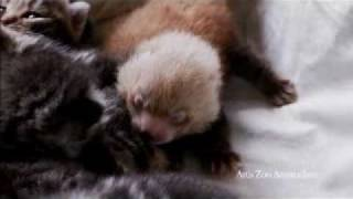 Dutch House Cat Adopts Rejected Red Panda