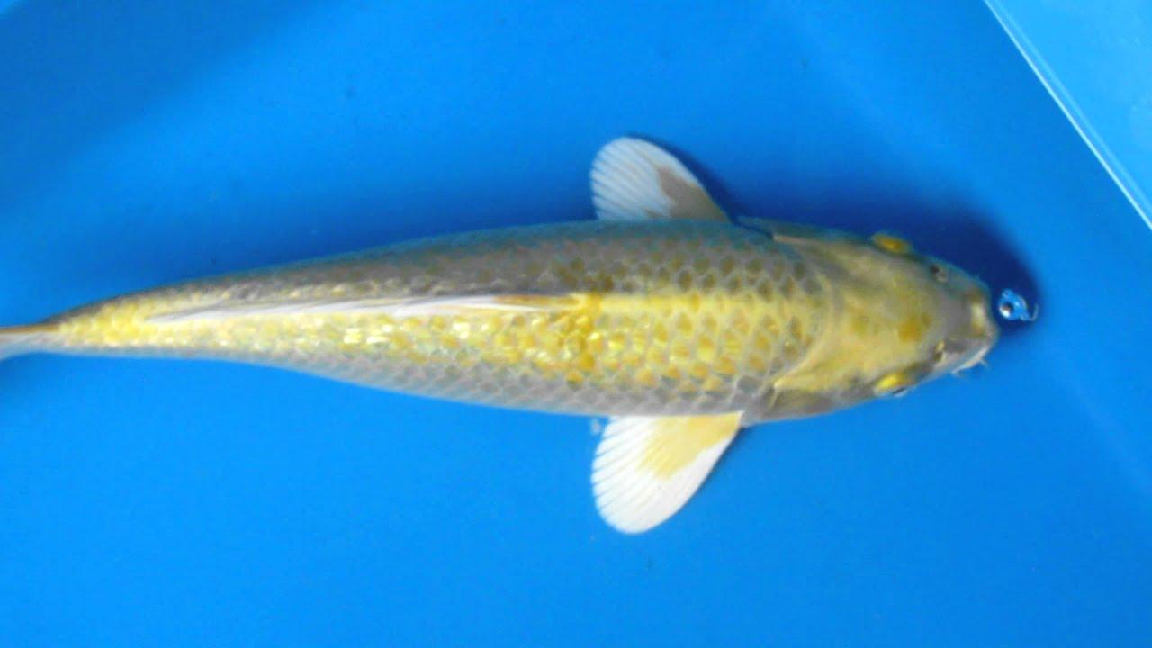 Pin gin rin yamabuki ogon butterfly fin live koi fish pond for Yamabuki koi fish