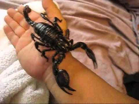 Biggest scorpion in the world - photo#11