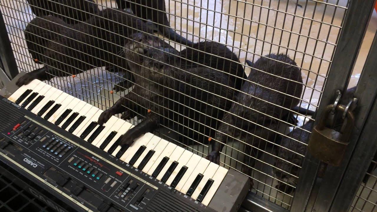 Des loutres jouent du clavier