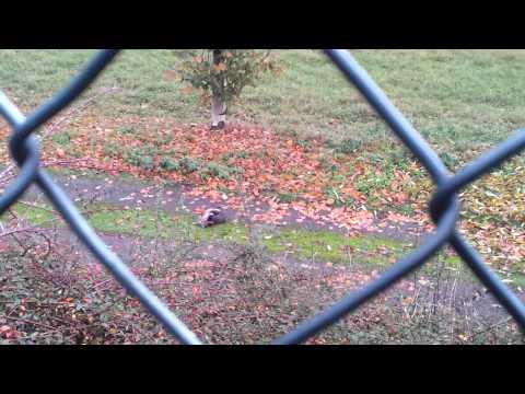 Qeni i sharrit kelpci