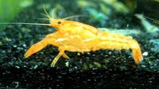 How To Find That Is A Female Mexican Orange Dwarf Crayfish