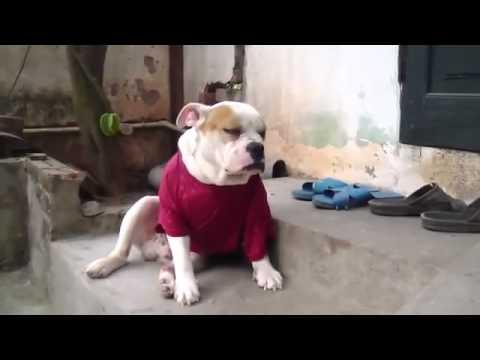 Chú chó BullDog chống chọi với cơn buồn ngủ