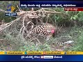 Leopard trapped by forest officials from Chittor District