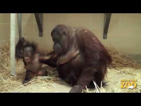 Baby Orangutan and Surrogate Mom Maggie
