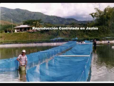 Piscicultura clima calido proturcafe youtube for Estanques para piscicultura