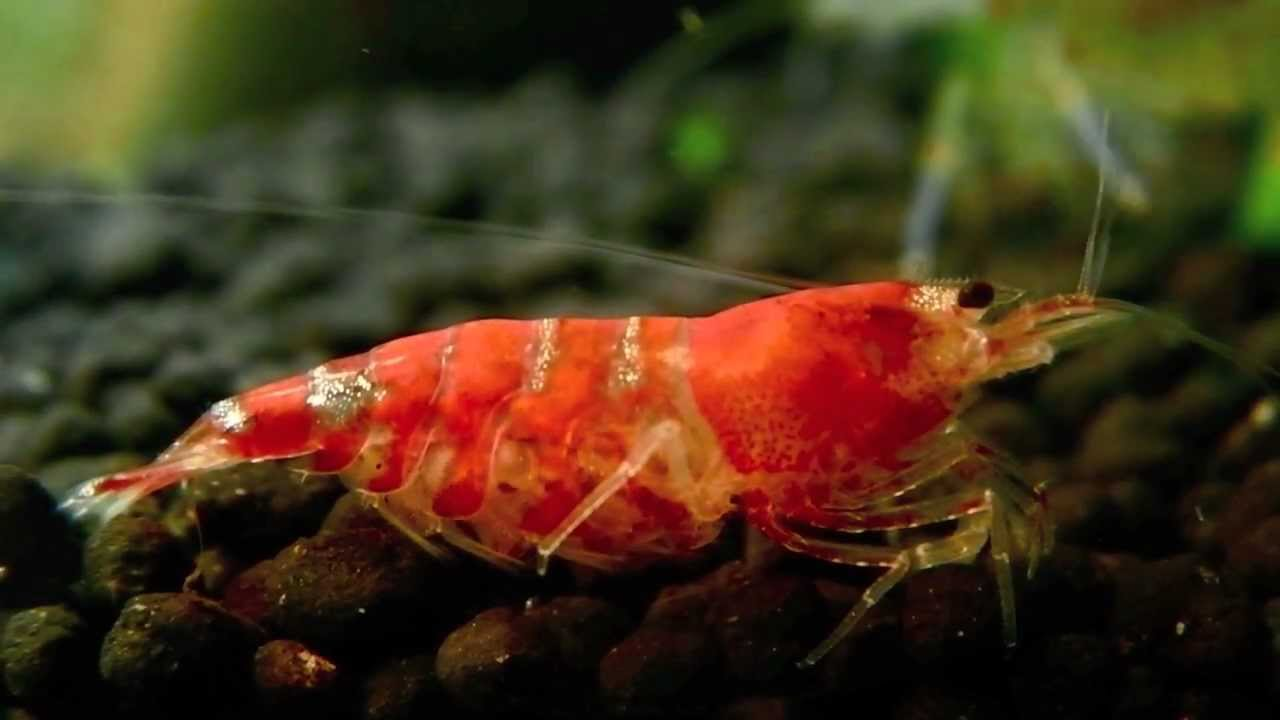 Baby Crystal Red Shrimp - YouTube