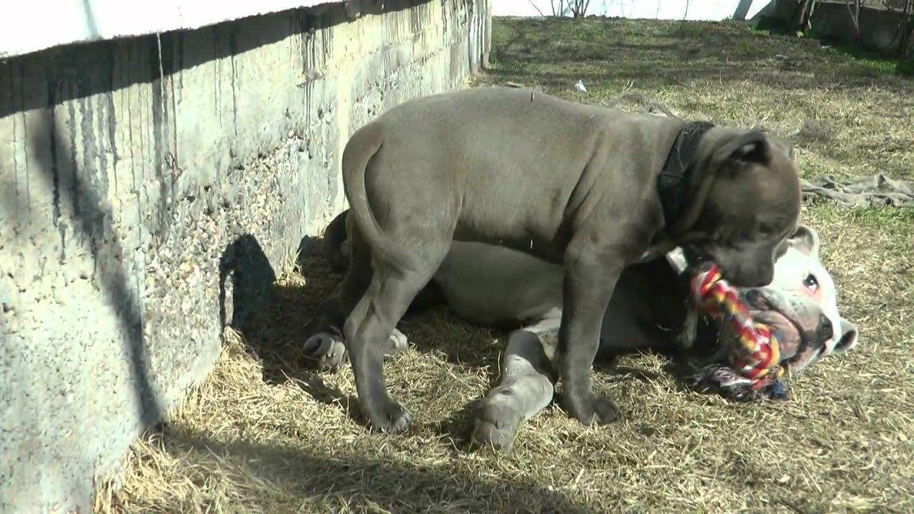 american staffordshire terrier vs - photo #37