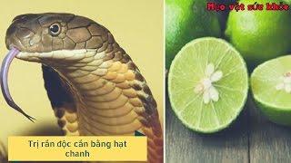 Mẹo Vặt Sức Khỏe | Trị rắn độc cắn bằng hạt chanh - bài thuốc cứu sống người trong 1 phút