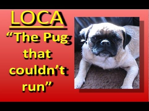 Loca the singing pug!