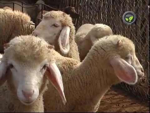Rambouillet Sheep Breed, Breeding and Lambing