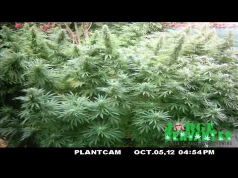 Jorge Cervantes' Outdoor Medical Marijuana Garden Time Lapse