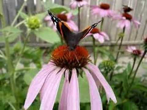 Thumbnail image for ''Red Admiral' Butterfly'