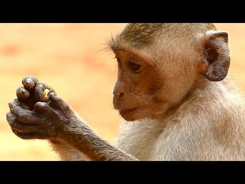 Janet Monkey Doing Her Hand | Explore Hand Janet More Action | Monkey Crying