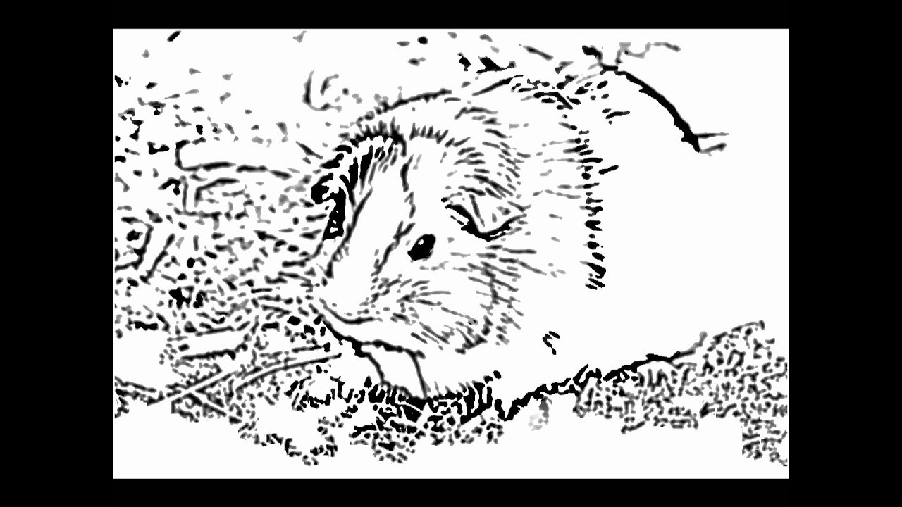 Free Coloring Pages Of A Guinea Pig
