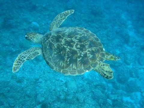 アオウミガメの画像 p1_11