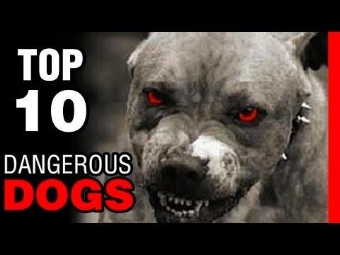 TOP 10 LOẠI CHÓ NGUY HIỂM NHẤT THẾ GIỚI