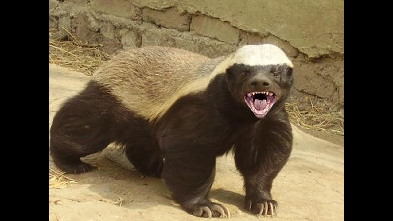 Honey Badgers: The Crazy Truth - YouTube
