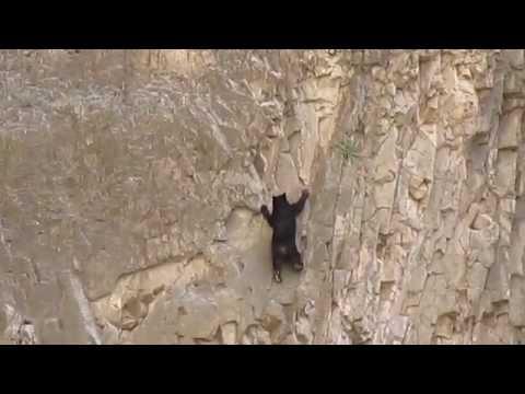 Rock Climbing Bears - Sziklamászó medvék