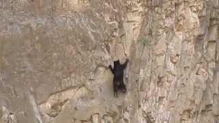 Beruang panjat tebing
