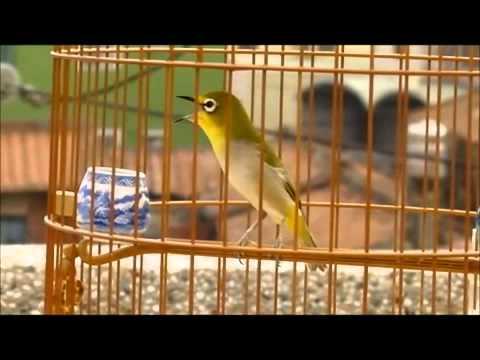 Chim vành khuyên hót xuất sắc (cách chăm sóc vành khuyên - cách dậy chim hót)