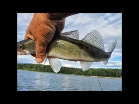 Fishing report - WALLEYE-SUDAK-GÖS-SANDRE Video