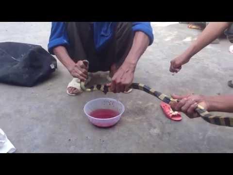 Bắt và cắt tiết rắn CẠP NIA - KHÚC ĐEN KHÚC TRẮNG CỰC ĐỘC - kill snake pro