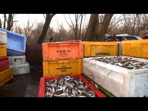 Stintų žvejyba / 2013 / Smelt fishing