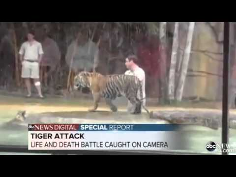 Deadly Tiger Attacks Handler During Training Exercises In Australia Zoo