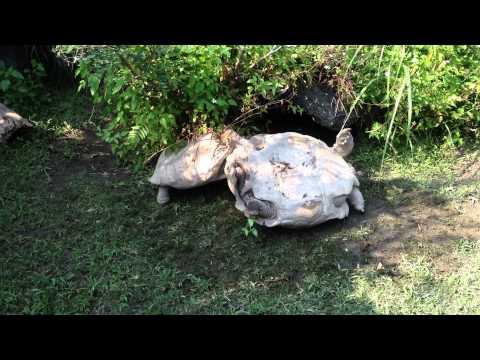 คลิปสัตว์โลกน่ารัก เมื่อเต่าเดินมาเจอเพื่อนหงายท้อง มันจะทำอย่างไร