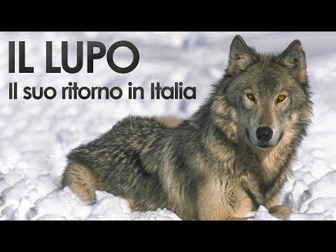 Il ritorno del lupo in Italia