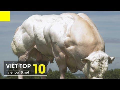 Top 5 Loài Vật Có Cơ Bắp Cuồn Cuộn Như Lực Sĩ