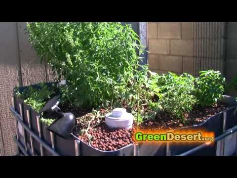 IBC Aquaponics update, tips, Organic fish food, & cycling process