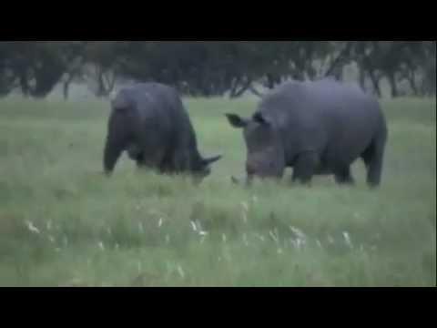 bò tót đấu tê giác động vật hoang dã