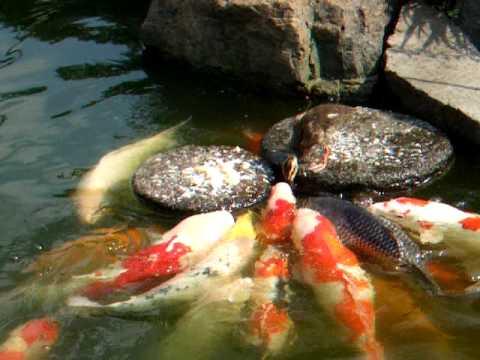 Baby duck feed the carp nishiki goi for Feeding koi fish
