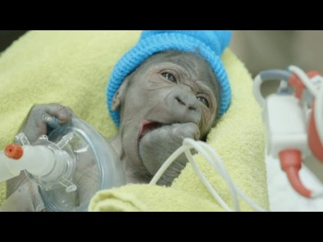 Baby gorilla born by emergency C-section in San Diego Zoo
