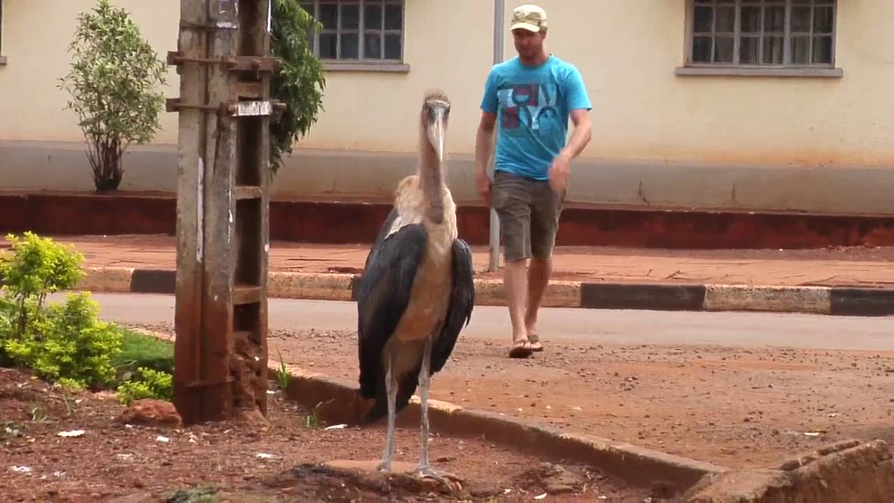 man attacked by african stork youtube