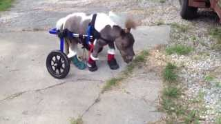 [Mini Horse Uses Wheelchair]