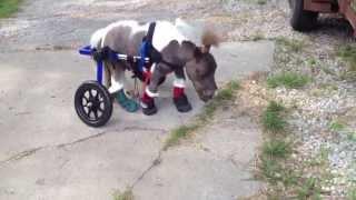 Mini Horse Uses Wheelchair