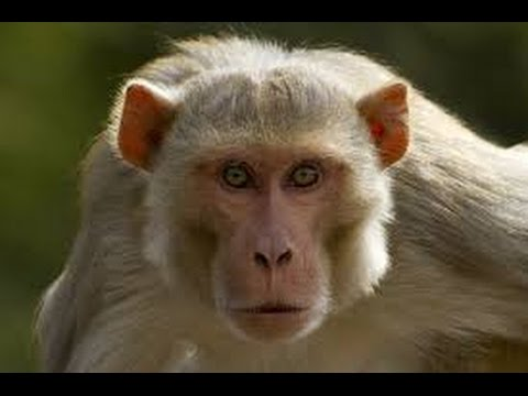 Funny Animal Monkey Smart - Topeng Monyet