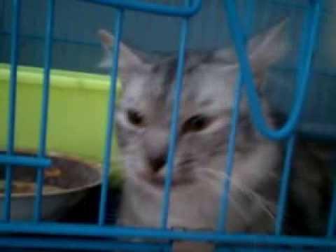 kucing anggora lucu banget