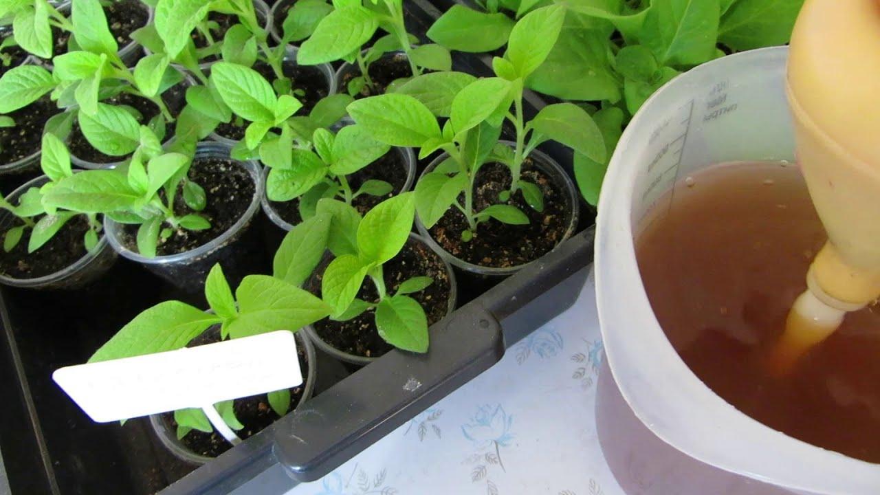 Чем подкормить рассаду помидор чтобы были толстенькие 58