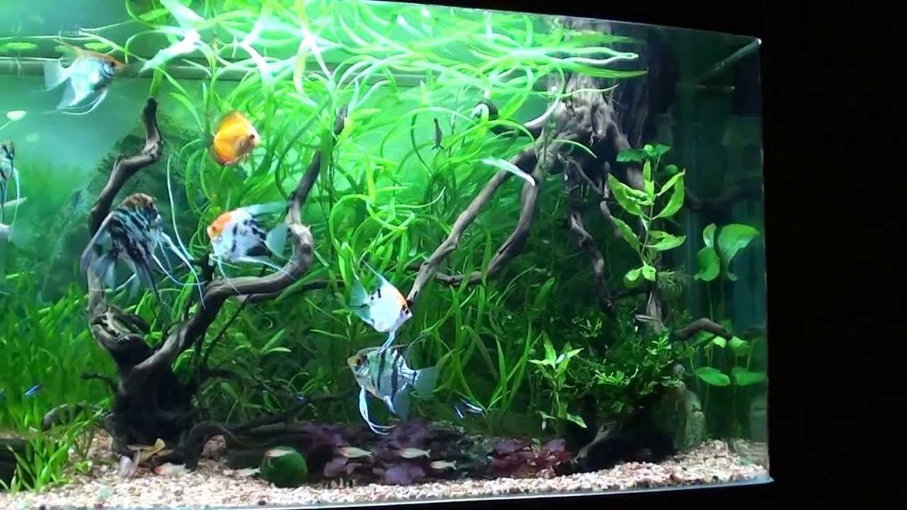 Cristian Angel Fish Planted Tank 120 Gal Part 1 Youtube