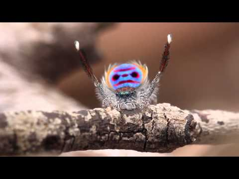 Pea Spider Dances to YMCA, A pea spider dances to YMCA.