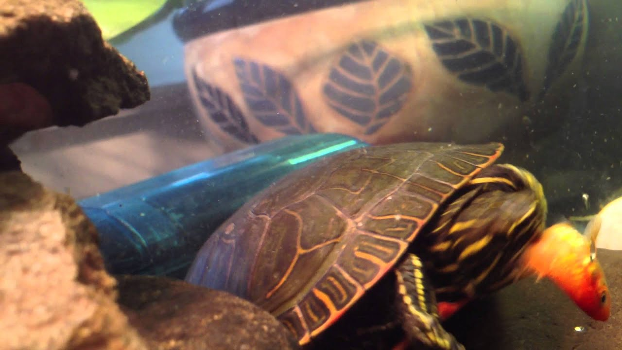 how to tell painted turtles apart