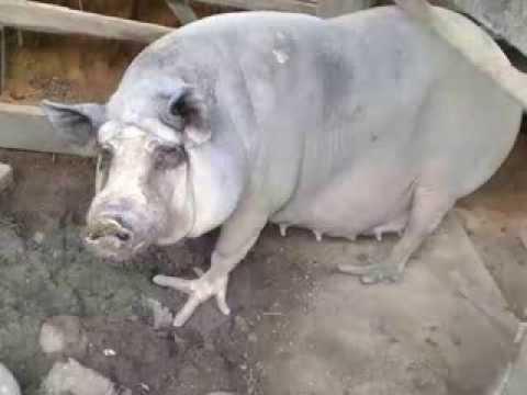 Cerdos con patas de gallina