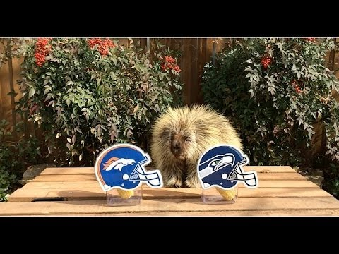 Teddy Bear the Porcupine Predicts the Winner of Super Bowl 48