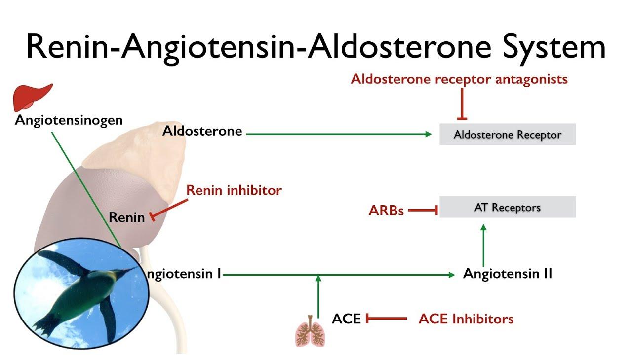 Renin-angiotensin-aldosterone System  The Raas
