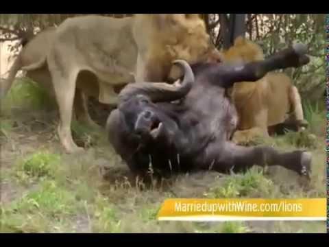 sư tử ăn thịt trâu trong khi còn sống