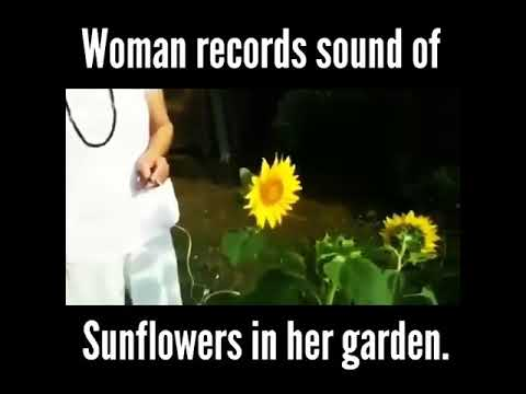 Woman records the sound of sunflowers in her garden